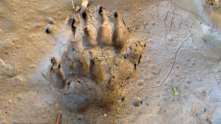 Räuber oder Fuchs Tierspuren im Wald